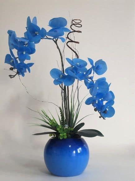 Orquídea Azul em vasos