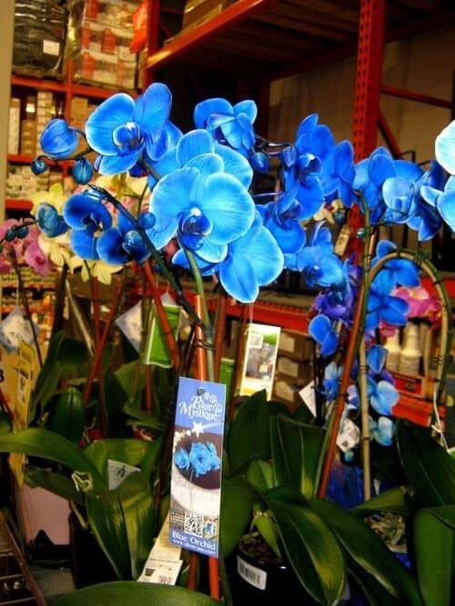 Orquídea Azul fotos