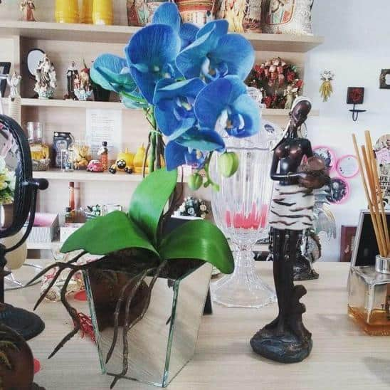 Orquídea Azul na decor