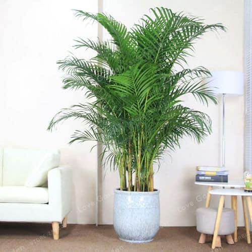 Vaso grande com palmeira