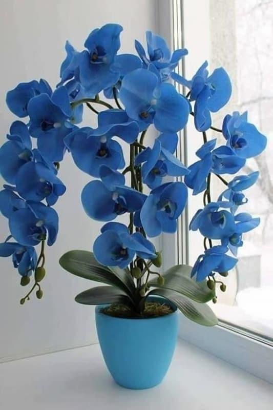 arranjo de Orquídea Azul
