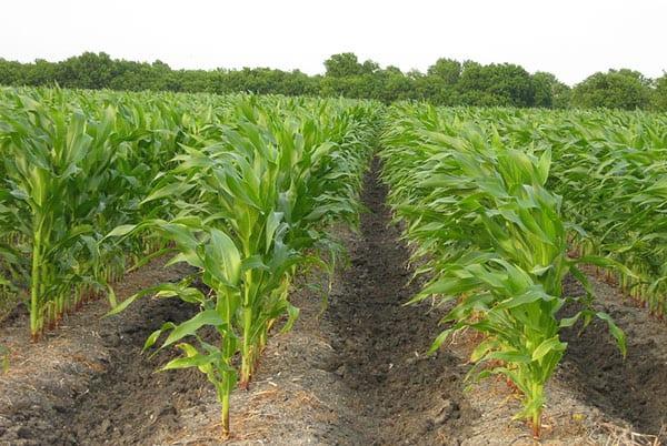 como é a plantação de milho