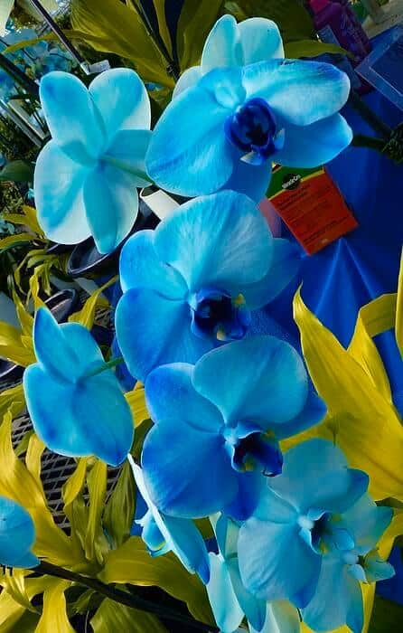 como cuidar de Orquídea Azul