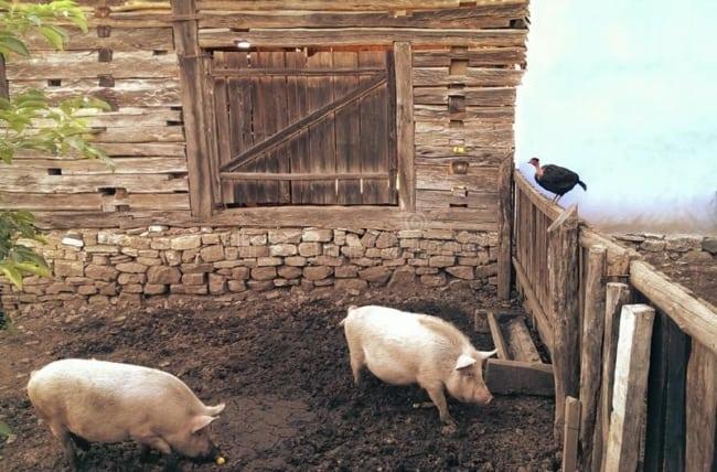 como montar um Chiqueiro de porcos