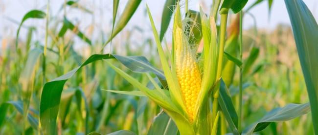 como plantar milho