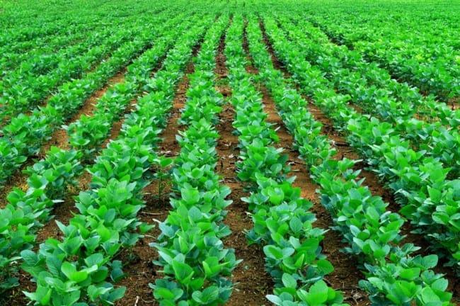 como plantar soja