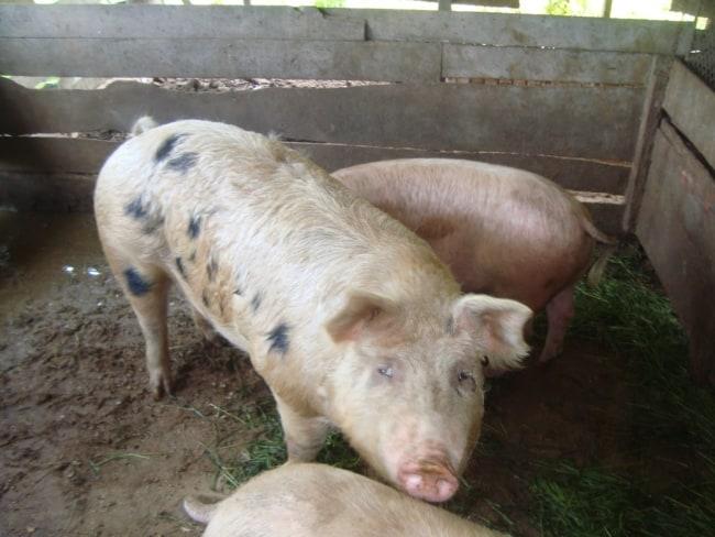 dicas para montar um Chiqueiro de porcos