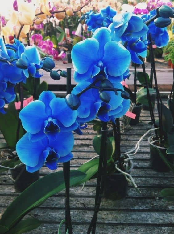 foto de Orquídea Azul