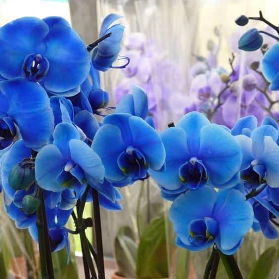 fotos de Orquídea Azul