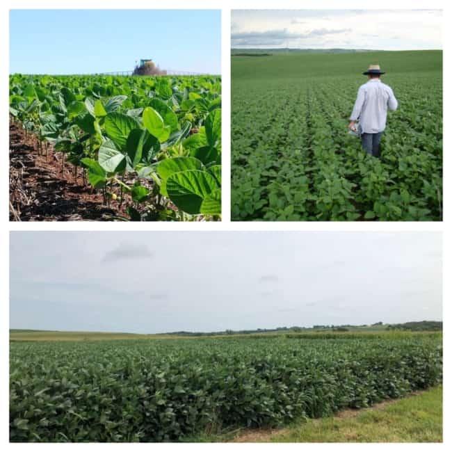 fotos de Plantações de soja