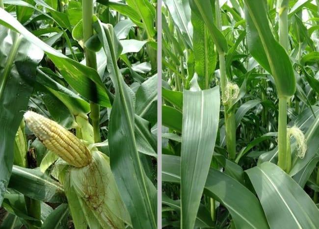 ideias de Plantação de milho