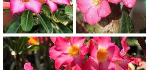 linda Rosa do deserto
