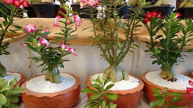 lindos vasos com rosa do deserto