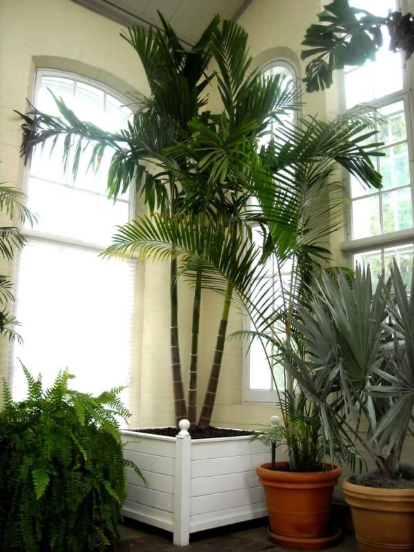 muda grande de palmeira areca