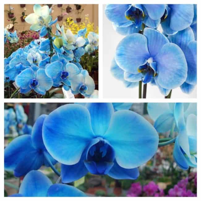 orquídea azul linda