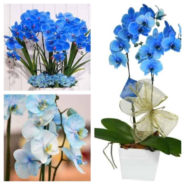 orquídea azul modelos