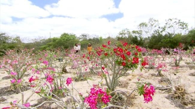 pés de rosa do deserto