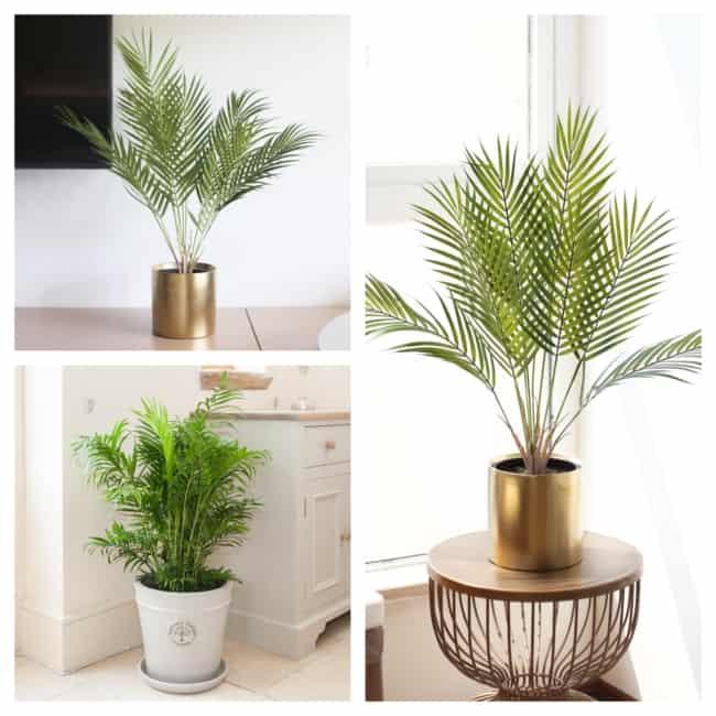 palmeira areca bambu em vasos