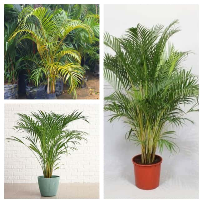 palmeira areca bambu modelos