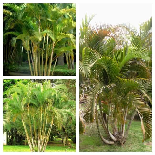 palmeira areca bambu no chão