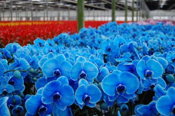 plantação de Orquídea Azul