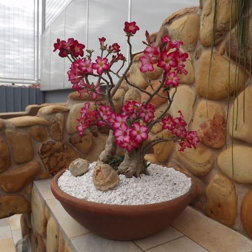 rosa do deserto em vasos