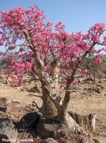 rosa do deserto grande