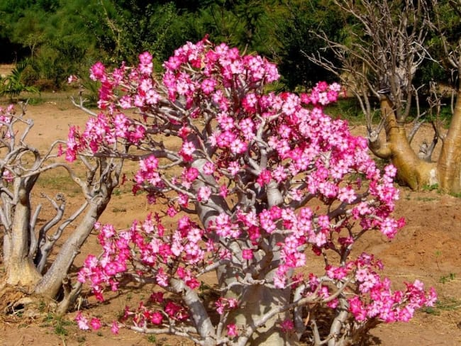 rosa do deserto no chão