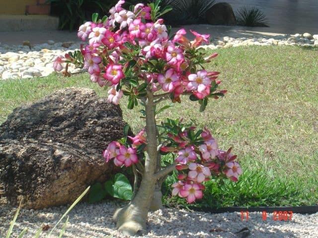 rosa do deserto plantada no chão