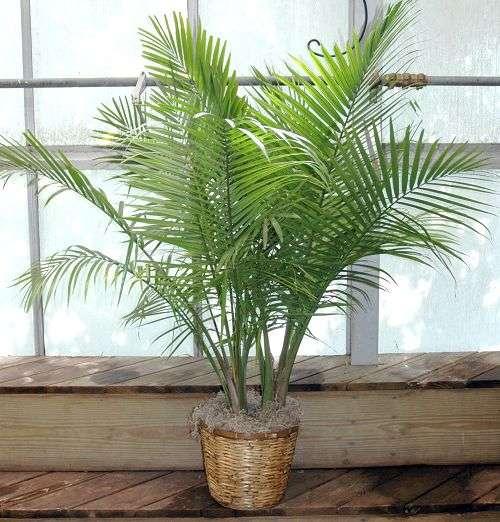 vasinho com palmeira areca