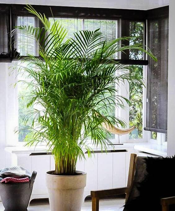 vaso grande com Areca Bambu