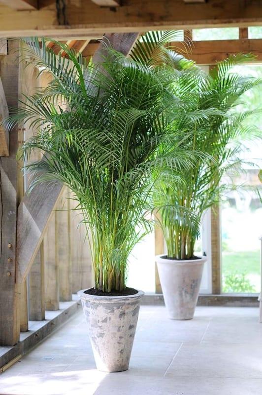 vasos com Areca Bambu