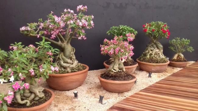 vasos de rosa do deserto