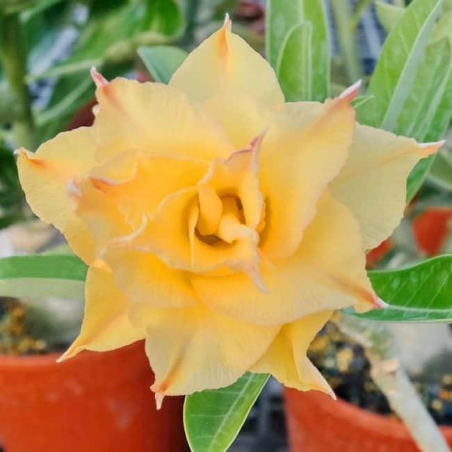 Rosa do deserto amarela em vaso para jardim19
