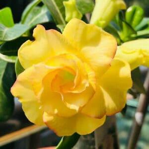 Rosa do deserto amarela17