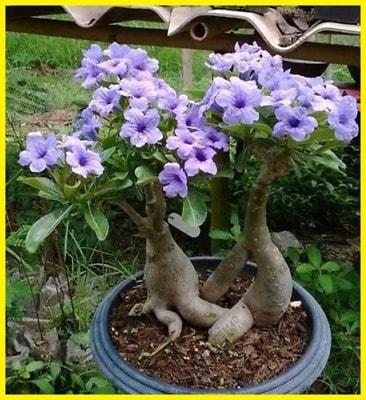 Rosa do deserto azul em jardim13