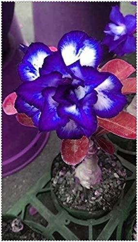 Rosa do deserto azul em vaso pequeno9