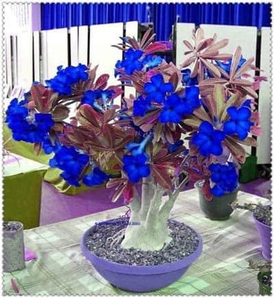 Adenium obesum azul em vaso7