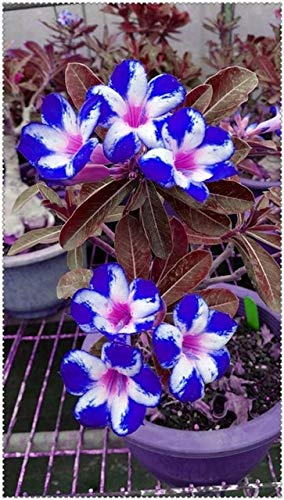 Rosa do deserto azul10