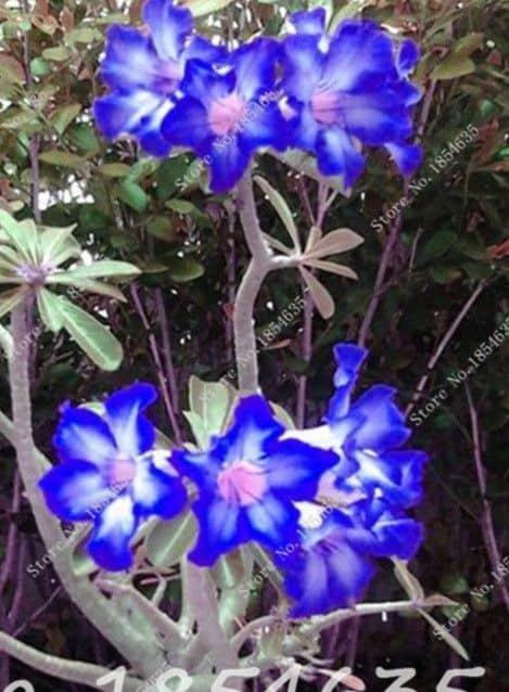 Adenium obesum azul11