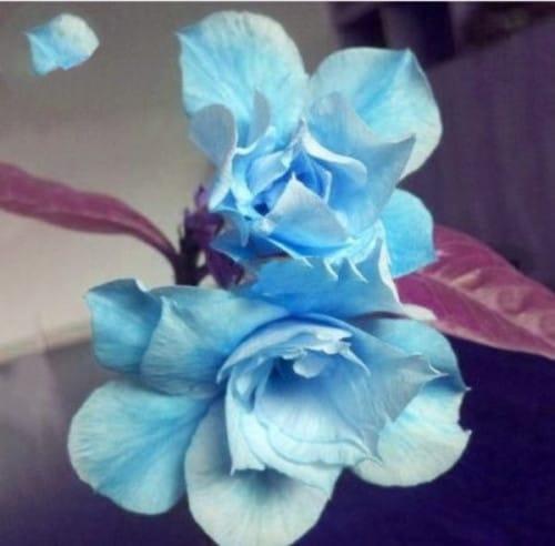 Rosa do deserto azul12