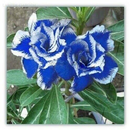 Rosa do deserto azul8
