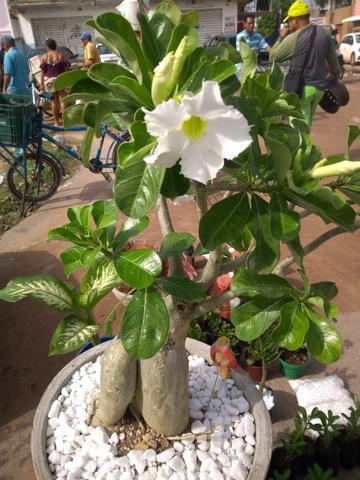Rosa do deserto branca em vaso com pedras brancas27