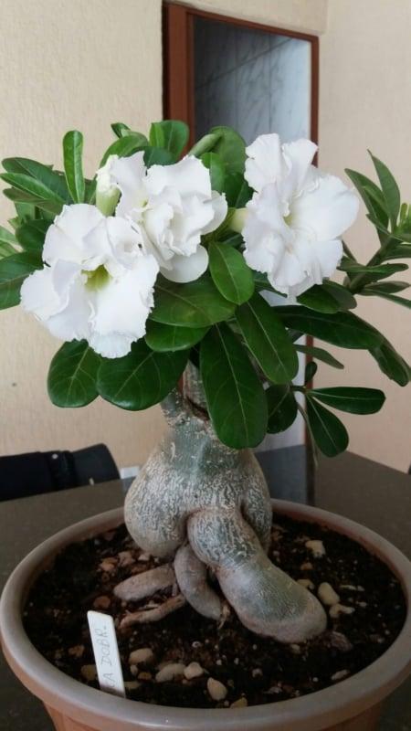Rosa do deserto branca em vaso26