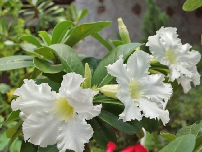 Rosa do deserto branca28
