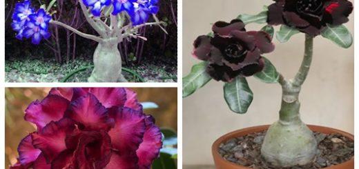 Rosa do deserto inspirações61