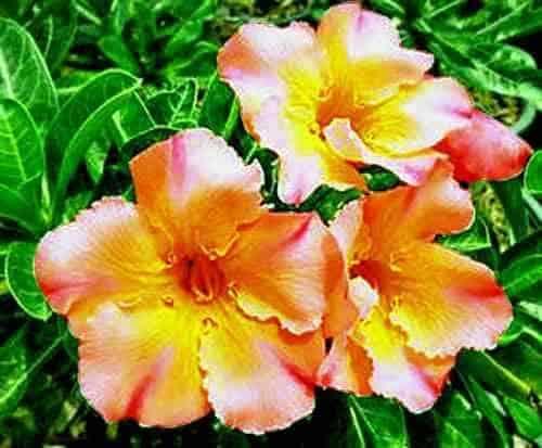 Adenium obesum laranja em jardim47