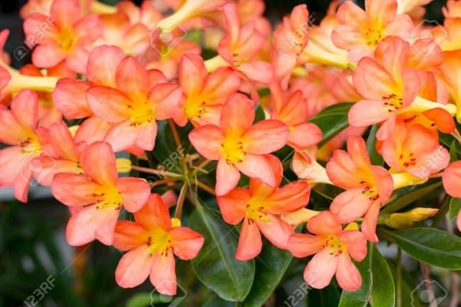Rosa do deserto laranja43