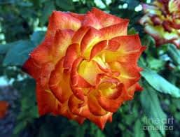 Rosa do deserto laranja44