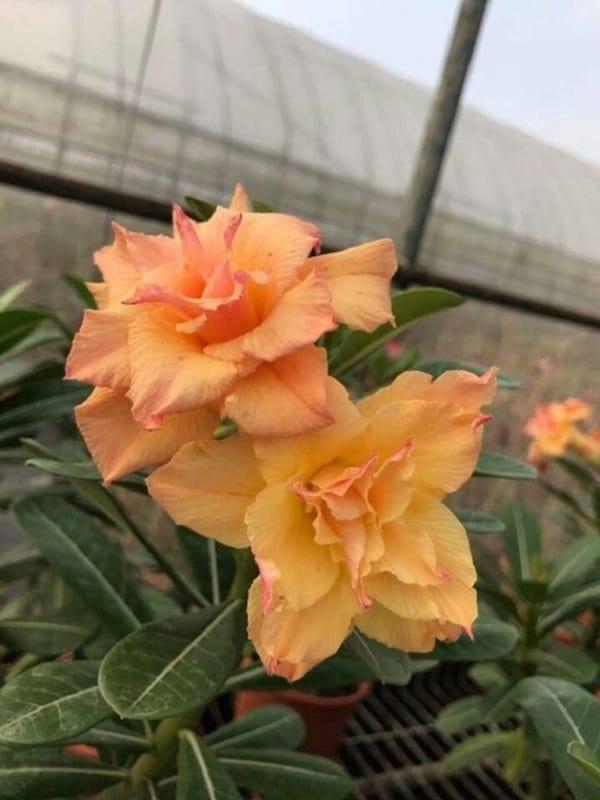 Rosa do deserto laranja45